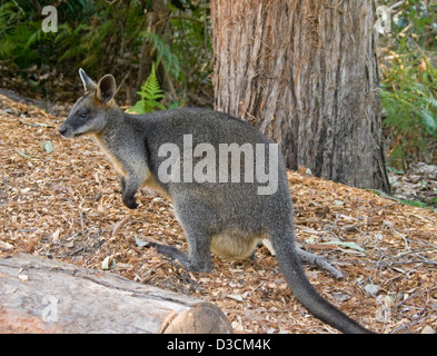Female swamp wallaby, Wallabia bicolour with joey in pouch in the wild in Booderee National Park, NSW Australia - Stock Photo