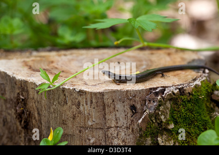 A macro shot of a Five-lined skink (Eumeces fasciatus) found in the Ozark mountains in Missouri. - Stock Photo