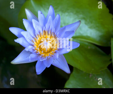 Lotus bloom in the pond is a large natural green. - Stock Photo