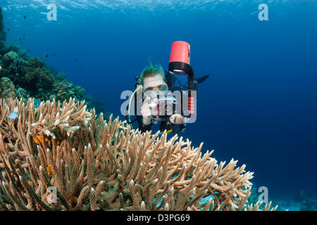 A diver (MR) lines up her camera on a damselfish near a large colony of antler coral, Wakatobi, Indonesia. - Stock Photo