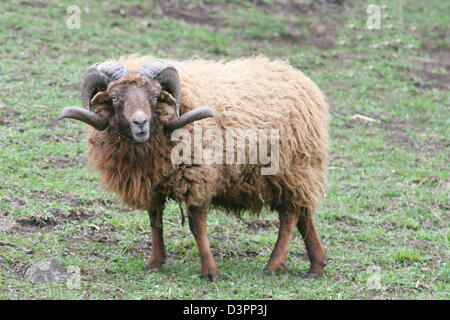sheep ram Skudde (Ovis ammon f. Aries) - Stock Photo