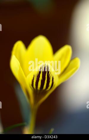crocus chrysanthus gypsy girl bicolor bicolour bulbs colors colours crocus flowering flowers markings patterns petals - Stock Photo