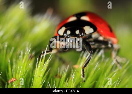 Seven-spot Ladybird (Coccinella septempunctata) closeup. Photographed in Frederikshaab Plantation, Denmark - Stock Photo
