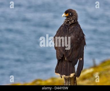 Striated Caracara (phalcoboenus australis), West Point Island, Falklands - Stock Photo