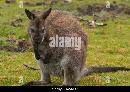 A marsupial wallaby in the Cradle Valley area of Cradle Mt - Lake St Clair National Park, Tasmania, Australia - Stock Photo