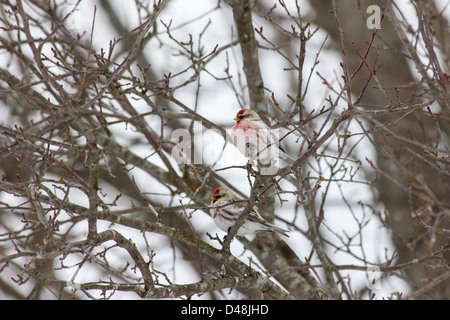 A male and female redpoll finch sit in the branches of a tree. - Stock Photo