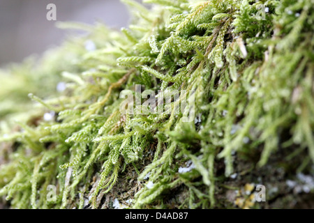 Green moss growing on tree branch - Stock Photo