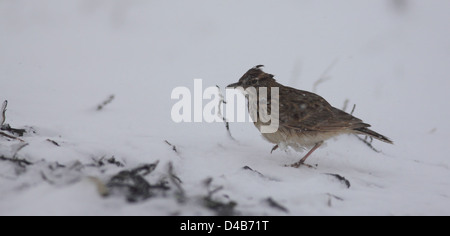Crested Lark (Galerida cristata) in the snow Photographed in Israel January winter - Stock Photo
