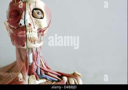 Anatomical models commonly used in teaching doctors as they much clearer easier understand than anatomical specimens. - Stock Photo