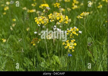 Primula veris cowslip plant colonising chalk grasslands, a member of the primrose family - Stock Photo