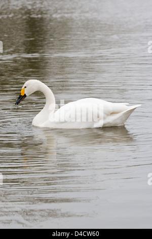 Bewick's Swan (Cygnus columbianus bewickii). Or 'Tundra Swan'. Breeds in northern Russia. Winters in British Isles. - Stock Photo