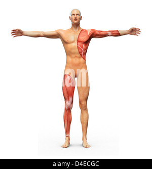 Human anatomy showing muscles underneath the skin - Stock Photo