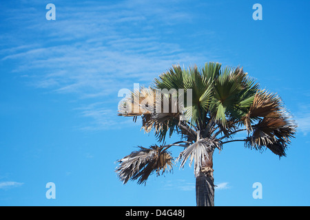 Palm tree Africa against blue sky - Stock Photo