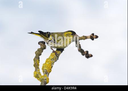 Erlenzeisig (Carduelis spinus) Spruce Siskin • Ostalbkreis, Baden-Württemberg, Deutschland - Stock Photo