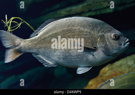 Portugal, Lisbon: Fish in the Oceanario de Lisboa - Stock Photo