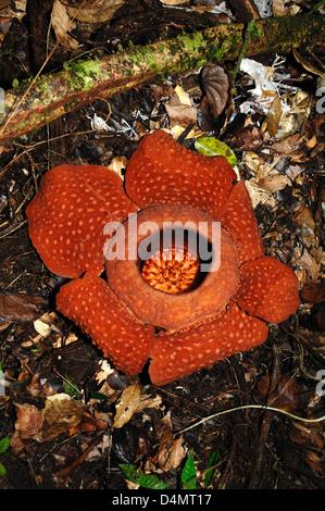 Rafflesia arnoldii World's Largest Flower or Bloom Sarawak Borneo Malaysia - Stock Photo