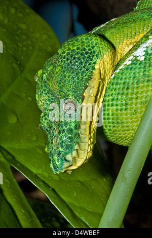 Emerald Tree Boa (Corallus caninus) Amazonian form After a shower January 2011 - Stock Photo