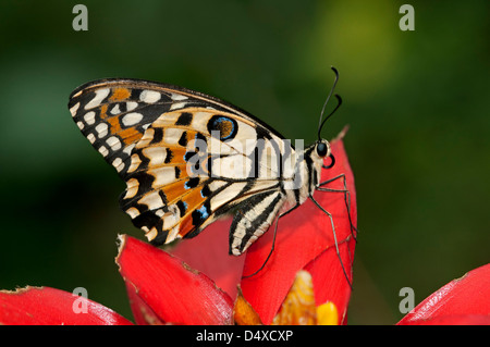 Chequered Swallowtail or Common Lime butterfly (Papilio demoleus) - Stock Photo
