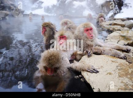 Japanese Snow Monkeys bath in hot springs in Nagano, Japan. - Stock Photo