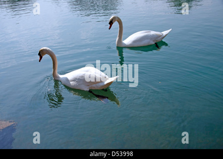 Pair of swans - Stock Photo