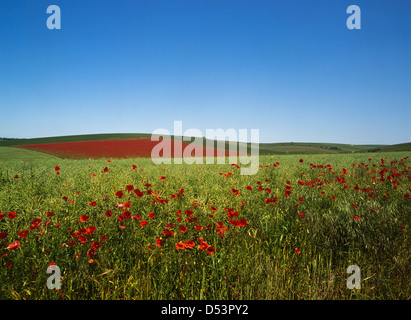 Poppy fields in the South Downs National Park - Stock Photo
