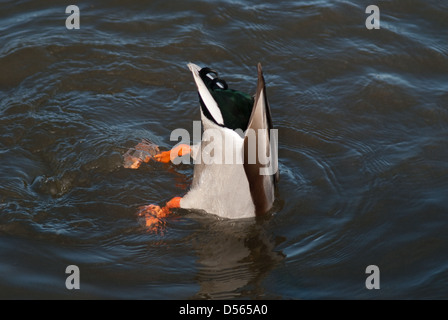 Adult drake Mallard up-ending in water to feed - Stock Photo