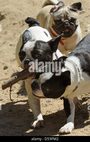 Pug, French Bulldog and Boston Terrier do not care about ancestry and race while playing at the 'Dog Island', a - Stock Photo