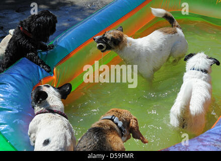 Dogs playing in a paddling pool at 'Dog Island', a daycare centre for dogs in Berlin, Germany, 17 June 2010. Up - Stock Photo