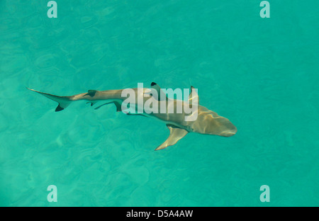 Blacktip Reef Shark (Carcharhinus melanopterus) swimming in shallow water, view from above, Queensland, Australia - Stock Photo