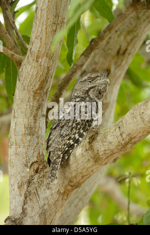 Tawny Frogmouth (Podargus strigoides) adult male resting in fork of tree, Queensland, Australia, November - Stock Photo
