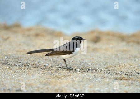 Willie Wagtail (Rhipidura leucophrys) standing on sandy beach, Queensland, Australia, November - Stock Photo