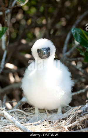 The Red-footed Booby (Sula sula) sitting in a nest in a tree - Stock Photo