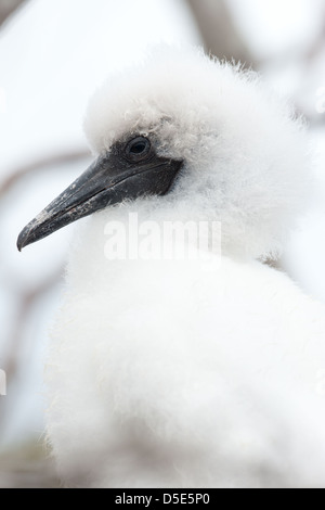 A Red-footed Booby chick (Sula sula) sitting in a nest in a tree - Stock Photo