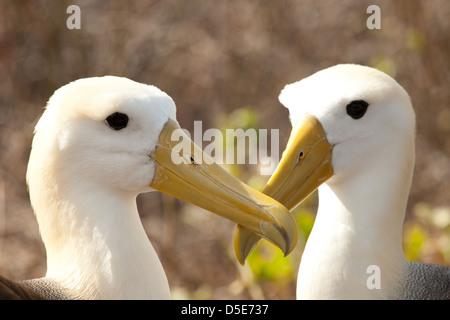 2 Waved Albatross (Phoebastria irrorata) - Stock Photo