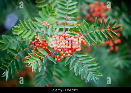 Sorbus in autumn, selective focus on berries - Stock Photo