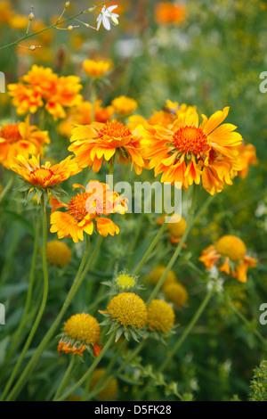 IGS 2013, international gardenshow, flowers at Islandpark,  Hamburg Wilhelmsburg, Germany - Stock Photo