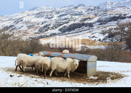 Hardy breed of Welsh Mountain Sheep feeding from a food trough in snow on a upland hill farm in Snowdonia uplands. - Stock Photo