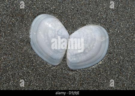 Thassos Greece Greek island September Sea shells found on the beach - Stock Photo
