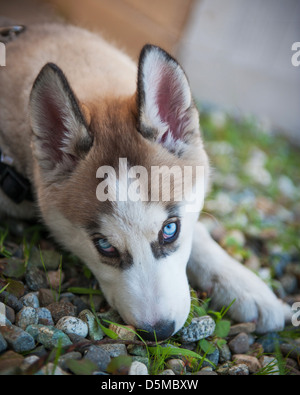 Alaskan Husky dog - Stock Photo