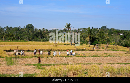 Workers winnowing in the paddy during Rice Harvest, near Ubud. Bali, Indonesia - Stock Photo