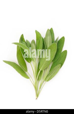 Fresh sage leaves on white background - Stock Photo