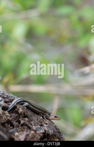 five-lined Skink (Eumeces fasciatus) - Stock Photo