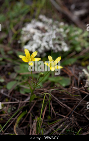 Gagea fistulosa growing in rocks in the sierras of Andalucia, Spain. February. - Stock Photo