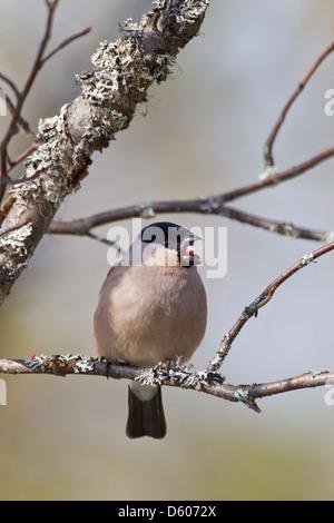 Northern Bullfinch Pyrrhula pyrrhula female perched in tree at Kuusamo, Finland in April. - Stock Photo