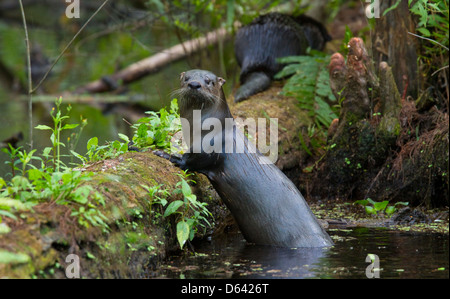 NORTH AMERICAN RIVER OTTER (Lontra canadensis) Six Mile Cypress Slough Preserve, Fort Myers, Florida, USA. January - Stock Photo