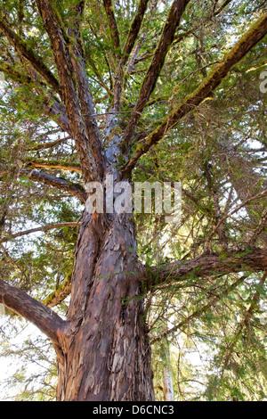 Pacific Yew tree, looking upward, 'Taxus brevifolia'. - Stock Photo