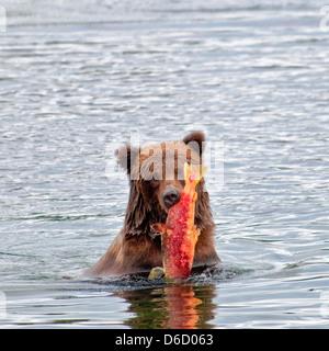 Grizzly Bear, Ursus arctos horriblis, carrying salmon out of the Brooks River, Katmai National Park, Alaska, USA - Stock Photo