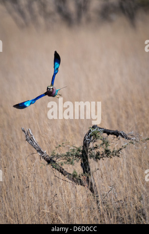 Front View of a Lilac-Breasted Roller, Corcias caudata, in flight, Etosha National Park, Namibia, Africa - Stock Photo