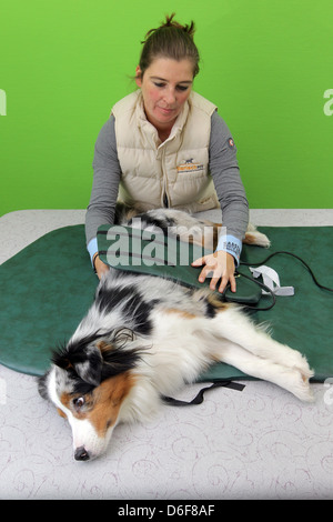 Wees, Germany, an Australian Shepherd dog in magnetic therapy in physiotherapy practice Beastly fit - Stock Photo