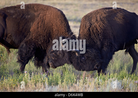 Bison (Bison bison) bulls sparring, Custer State Park, South Dakota, United States of America, North America - Stock Photo